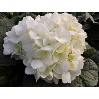 HYDRANGEA K-COLLECTION ESKIMO WHITE