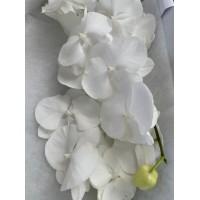 PHALAENOPSIS SERENITY, white