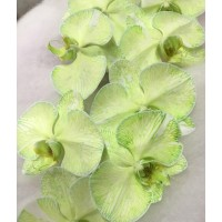 PHALAENOPSIS DYED GREEN - FOREST