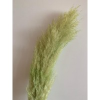 PRESERVED PAMPAS - LIGHT GREEN