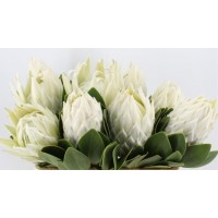 PROTEA - KING WHITE ARCTIC ICE