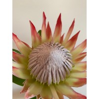 PROTEA - KING PINK