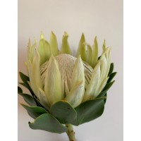 PROTEA - WHITE KING