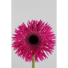 GERBERA SPIDER FARM MIX BOX