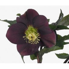 HELLEBORE QUEENS RED