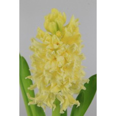 HYACINTH YELLOWSTONE