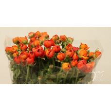 RANUNCULUS PAULINE DARK ORANGE
