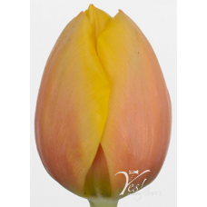 TULIP - AD REMS BEAUTY