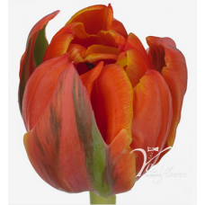 TULIP - QUEENSDAY