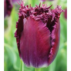 TULIP -  FR PURPLE CHRYSTAL
