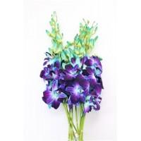 DENDROBRIUM ORCHID BLUE