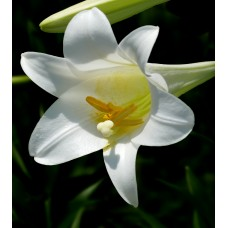 LILY - LONGIFLORUM WHITE 1 BUD G-Collection