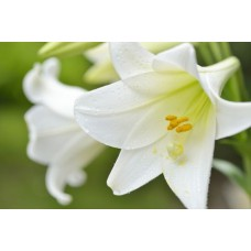LILY - LONGIFLORUM WHITE 2 BUD G-Collection