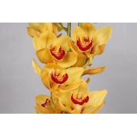 CYMBIDIUM ORCHIDS  Rijsenhoud, yellow