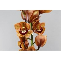 CYMBIDIUM ORCHIDS King alex, brown