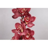 CYMBIDIUM ORCHIDS Lucifer, dusty pink