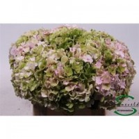 HYDRANGEA E-COLLECTION FARM BOX 30 STEMS