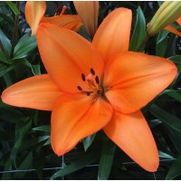 LILY - ASIFLORUM ORANGE 3-4 BUD G-Collection