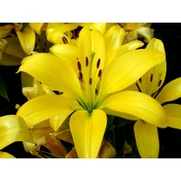 LILY - ASIFLORUM YELLOW 3-4 BUD G-Collection