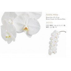 PHALAENOPSIS A collection  - white XXXXL  13+ bloom