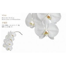 PHALAENOPSIS A collection  - white  5-10 bloom