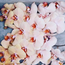 PHALAENOPSIS ROYAL PEACH, peach