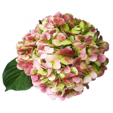 HYDRANGEA S-COLLECTION ANTIQUE  GREEN