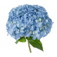 HYDRANGEA S-COLLECTION SELECT BLUE