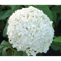 HYDRANGEA S-COLLECTION WHITE JUMBO - Headsize 23cm++