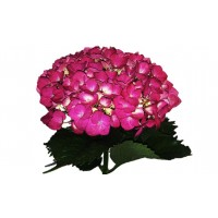 HYDRANGEA S-COLLECTION ELITE HOT PINK