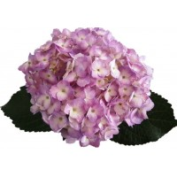 HYDRANGEA S-COLLECTION ELITE PINK