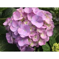 HYDRANGEA K-COLLECTION CANDY FLOSS MILKA