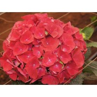 HYDRANGEA K-COLLECTION TROPHY RUBY RED