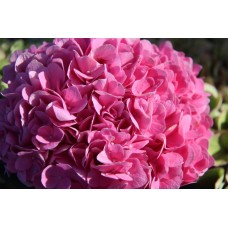 HYDRANGEA K-COLLECTION OPAL FRESH PINK (TROPAL PINK)
