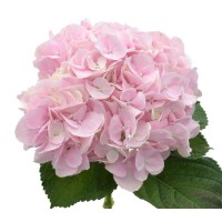 HYDRANGEA K-BCOLLECTION FORCE PINK XL