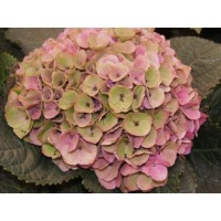 HYDRANGEA K-COLLECTION TROPAL PINK GREEN