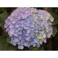 HYDRANGEA K-COLLECTION TROPAL BLUE