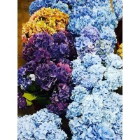 HYDRANGEA E-COLLECTION REQUEST FOR SPECIAL COLOURS - send us your special color request
