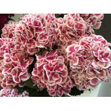 HYDRANGEA K-COLLECTION HARLEKYN PINK WHITE