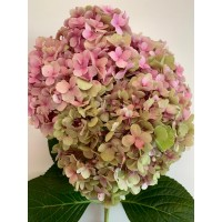 HYDRANGEAS G-COLLECTION PINK GREEN - Headsizes 25 cm ++