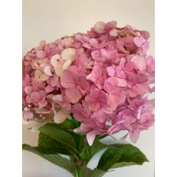 HYDRANGEAS G-COLLECTION PINK - Headsizes 25 cm ++