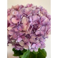 HYDRANGEAS G-COLLECTION PURPLE - Headsizes 25 cm ++